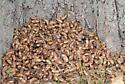 Periodical Cicada - Magicicada septendecim_2296 - Magicicada septendecim