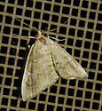 possible Scybalistodes regularis - Scybalistodes regularis