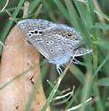 Reakirt's Blue - Echinargus isola