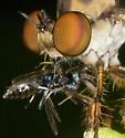 Holcocephala 2533 - Holcocephala fusca - female
