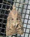 Tufted Apple Bud Moth - Platynota idaeusalis