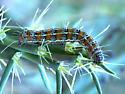 caterpillar on a cholla cactus - Euscirrhopterus cosyra