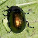 Chrysomelid - Chrysolina auripennis