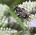 9063597 Megachile - Calliopsis