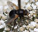 Fly - Tachina
