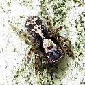 Jumping Spider 2 - Naphrys pulex