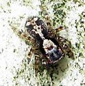 Jumping Spider 2 - Naphrys pulex