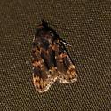 Stored Grain Moth? - Aglossa caprealis