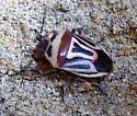 Two-spotted Stink Bug (Perillus bioculatus) - Perillus bioculatus