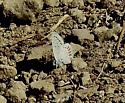 Blue butterfly from Winnemucca Lake, south of Lake Tahoe, at 8500 feet