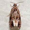 Olethreutes melanomesum