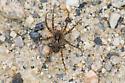 Wolf Spider 3 - Pardosa