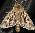 Mostly Brown Moth - Cerapteryx graminis