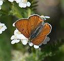 Lilac-bordered Copper? - Lycaena