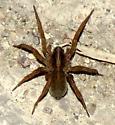 brown spider - Trochosa