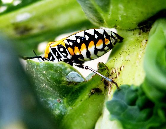 Harlequin Bug, underbelly - Murgantia histrionica