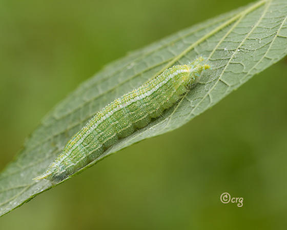 tawny emperor - Asterocampa clyton