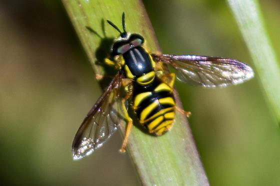 Otay Mountain Syrphidae - Chrysotoxum