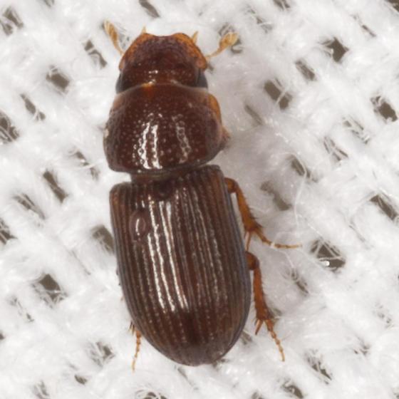Tiny Beetle - Platytomus