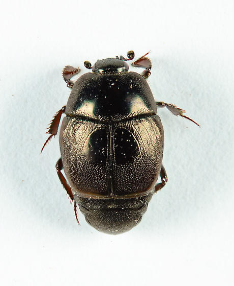 Nice little Histerid.. - Xerosaprinus