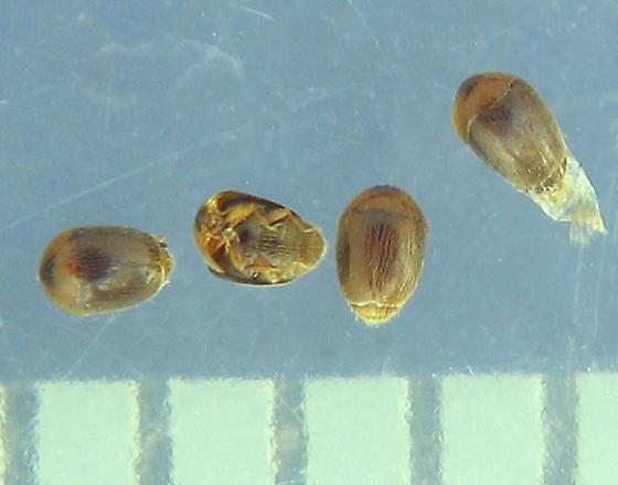 Wrack-heap Corylophidae - Sericoderus lateralis