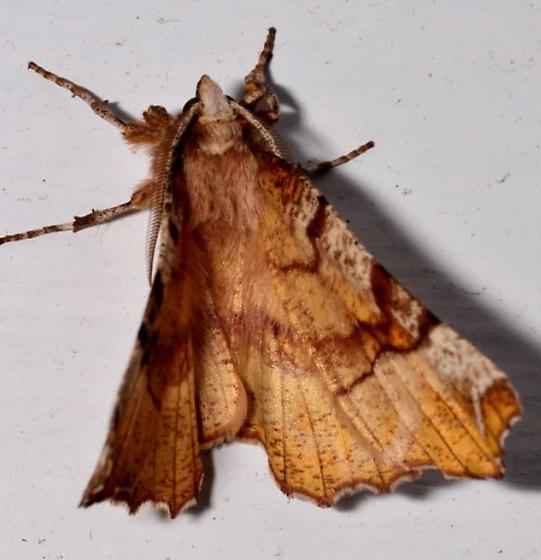 20mar12-moth2 - Selenia kentaria - male