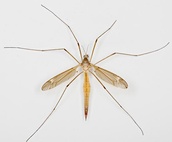 BG1940 E0273 - Tipula - female