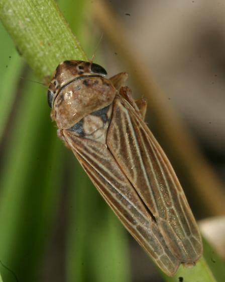 Leafhopper - Ciminius hartii - female