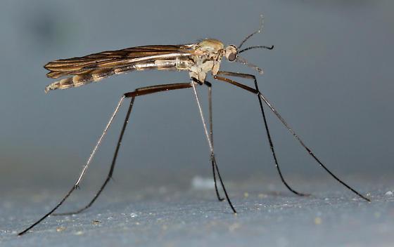 cranefly look-alike - Cramptonomyia spenceri