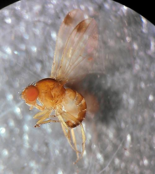 Drosophila suzukii? - Drosophila suzukii - male