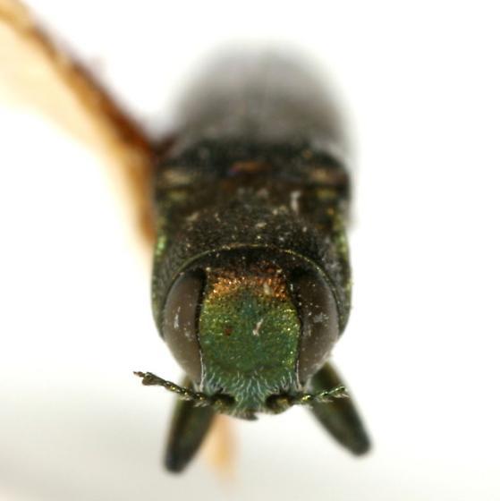 Agrilus gillespiensis Knull - Agrilus gillespiensis