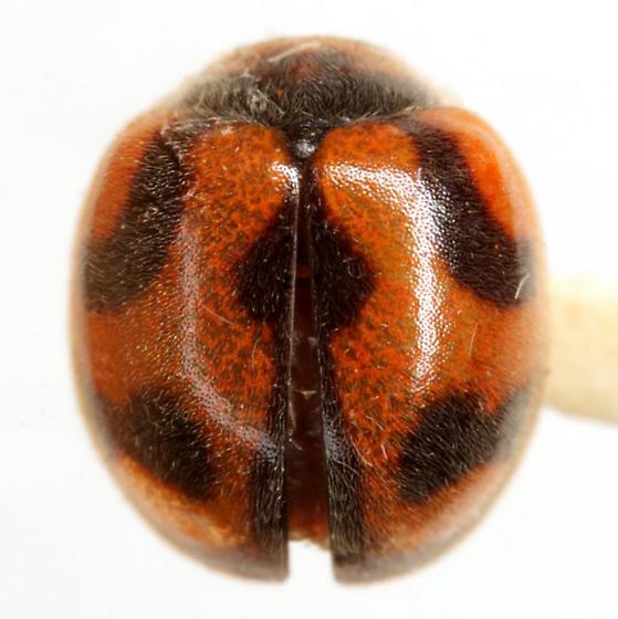 Rodolia cardinalis (Mulsant) - Rodolia cardinalis