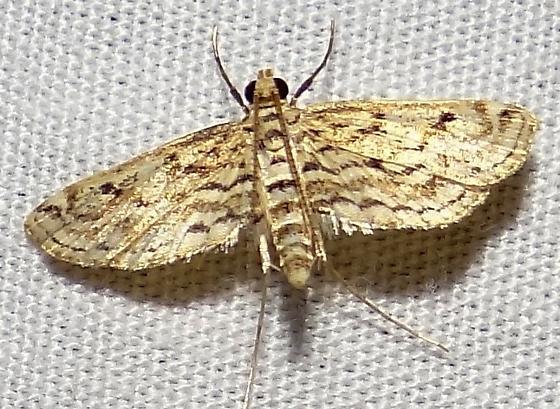Parapoynx allionealis, Hodges #4764 ? - Parapoynx allionealis