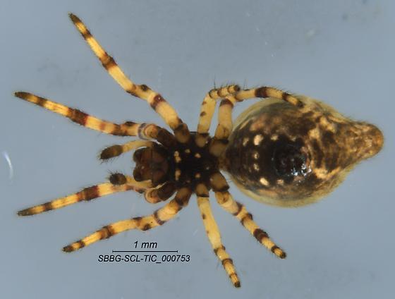 Araneae - Cyclosa conica