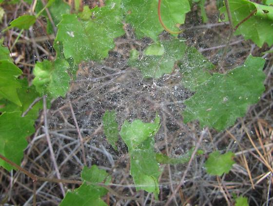 Orbweaver of some type? - Frontinella pyramitela