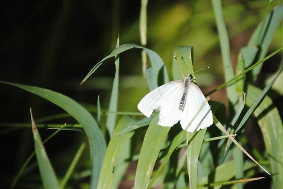 Unidentified  - Pieris marginalis - male