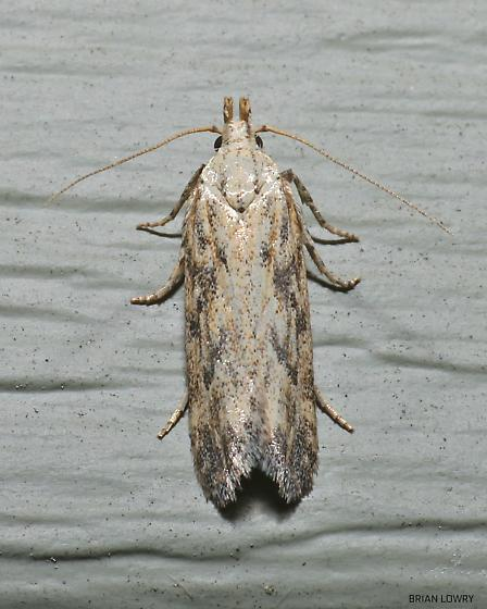 Narrow cream moth brown spots - Frumenta nundinella