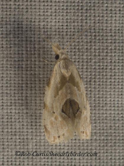 9047987 moth