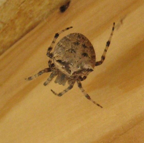 Araneidae 04b - Araneus gemmoides - female