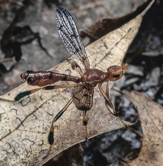 Fly - Pyrgotella chagnoni