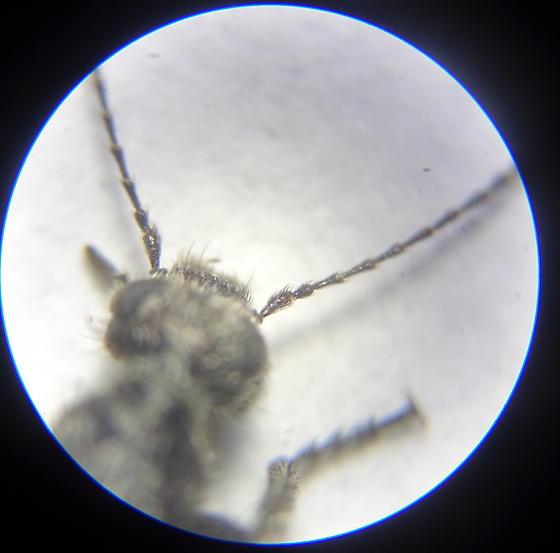 Spotted Beetle - Retocomus