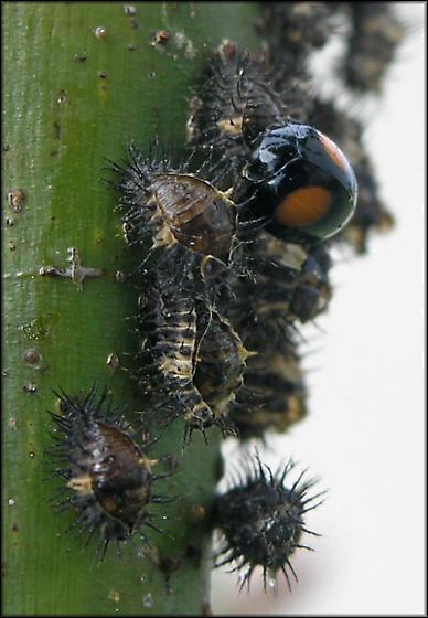 Ladybird Beetle w/ Pupa? - Chilocorus