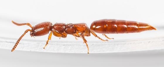Wasp - Pristepyris