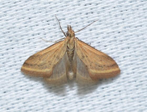 Microtheoris ophionalis? - Microtheoris ophionalis