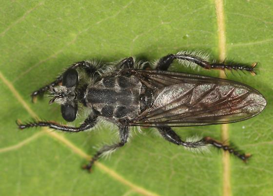 Robber Fly - Andrenosoma fulvicaudum - female