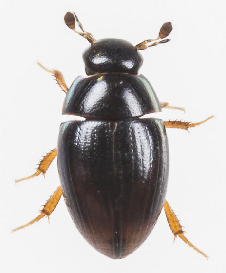 Beetle - Cercyon analis