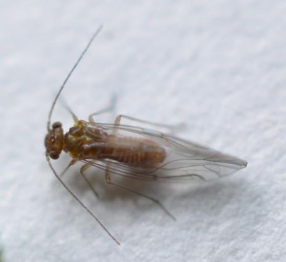 Unknown Barklouse - Lachesilla pacifica - male