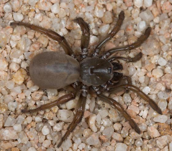 Aptostichus sarlacc? - Aptostichus sarlacc - female