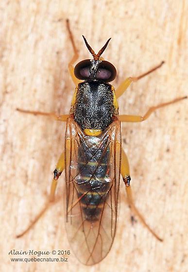 Unknown fly - Solva pallipes