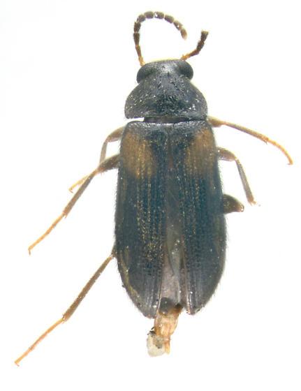 Tenebrionidae, dorsal - Mycetochara fraterna - male